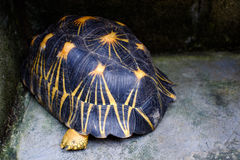 Radiata tortoise. Astrochelys radiata - feeding. Animal portrait royalty free stock photo