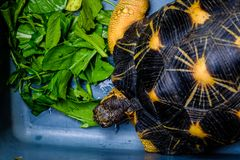 Radiata tortoise. Astrochelys radiata - feeding. Animal portrait stock images
