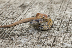 Radiated snake preparing to fighting Stock Photos