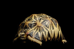 Radiated tortoise stock photo