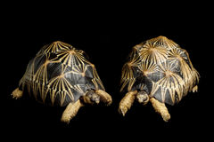 Radiated tortoise royalty free stock photography