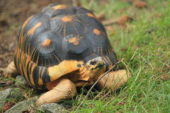 Radiated tortoise. The radiated tortoise crawling in the grass royalty free stock photos