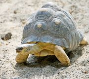 Radiated tortoise 4 Stock Photos