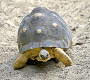Radiated tortoise 6 Royalty Free Stock Photo