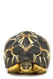 Radiated Tortoise Royalty Free Stock Images
