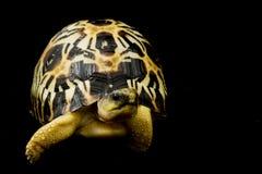 Radiated Tortoise stock photos