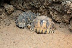 Radiated tortoise (Astrochelys radiata). Stock Photography