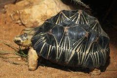 Radiated tortoise (Astrochelys radiata). Royalty Free Stock Photos