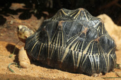 Radiated tortoise (Astrochelys radiata). Stock Photography