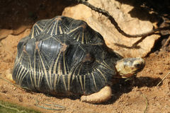 Radiated tortoise (Astrochelys radiata). Royalty Free Stock Photography