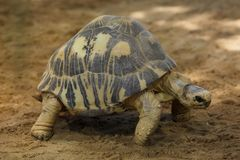 Radiated tortoise Astrochelys radiata. Wildlife animal royalty free stock image