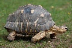 Radiated tortoise Astrochelys radiata. royalty free stock images