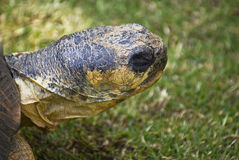 Radiated Tortoise Close Up Royalty Free Stock Photo