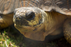 Radiated Tortoise Close Up Portrait 1 Royalty Free Stock Photo