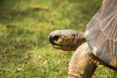 Radiated Tortoise Close Up Portrait 4 Royalty Free Stock Photo