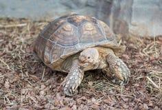 Radiated tortoise, Endemic of Madagasca royalty free stock photography
