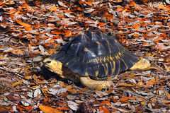 Radiated Tortoise on Fall Leaves Stock Photo