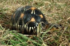 Radiated tortoise (Geochelone radiata). The rare madagascarian tortoise in the grass stock photo