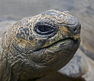 Radiated tortoise 2 Royalty Free Stock Images