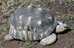 Radiated tortoise 9 Stock Photos