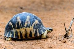 Radiated tortoise, Madagascar Royalty Free Stock Images