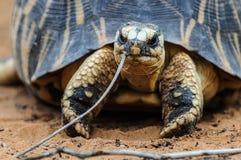 Radiated tortoise, Madagascar Stock Image