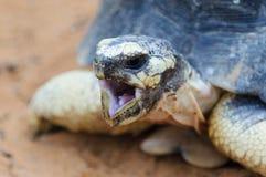 Radiated tortoise, Madagascar Royalty Free Stock Photos