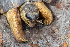 Radiated tortoise royalty free stock image