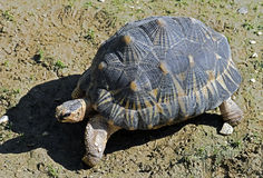 Radiated tortoise 8 Royalty Free Stock Photography