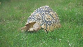 Radiated tortoise. stock video footage