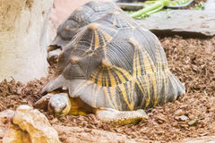 Radiated tortoise resting quietly royalty free stock image