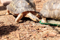 Radiated tortoise scientifically known as Astrochelys radiata Stock Photo