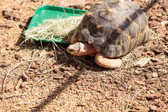 Radiated tortoise scientifically known as Astrochelys radiata Royalty Free Stock Images
