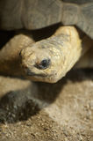 Radiated Tortoise Stock Photography