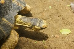 Radiated tortoise is walking In the zoo area. royalty free stock image