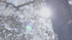 Radiating Sun Behind Spring Blossom Tree. Low angle high dynamic range shallow depth of field medium close up slider shot moving away from a tree trunk with stock footage