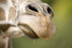 Radiatore anteriore della giraffa Fotografia Stock Libera da Diritti