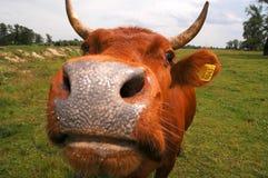Radiatore anteriore della mucca Fotografia Stock Libera da Diritti