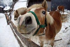 Radiatore anteriore divertente del cavallo Fotografie Stock Libere da Diritti
