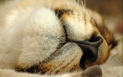 Radiatore anteriore e bocca del leone Fotografie Stock