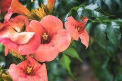 Radicans de Campsis o vid de trompeta de florecimiento anaranjados fotografía de archivo