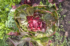 Radicchio. In a vegetable garden bed Stock Photo