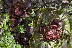 Radicchio. In a vegetable garden Stock Photography
