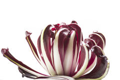 Radicchio chicory. Red italian radicchio chicory from Treviso close up Royalty Free Stock Images