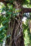 Radice degli alberi del pane messicani Fotografia Stock Libera da Diritti
