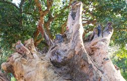 Radice dei 250 anni caduti dell'eucalyptus Fotografie Stock