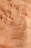 Radice del pioppo Fotografie Stock Libere da Diritti