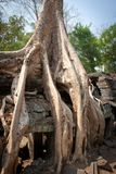 Radice dell'albero, Angkor Wat, Cambogia Fotografie Stock Libere da Diritti