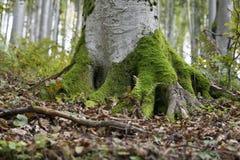 Radice dell'albero coperta da muschio Fotografia Stock Libera da Diritti