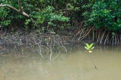 Radice dell'albero della mangrovia in acqua, Tailandia Immagini Stock